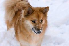 冰岛护羊狗 免版税库存照片