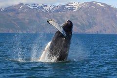 冰岛显示鲸鱼 库存图片