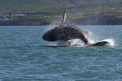 冰岛显示鲸鱼 图库摄影