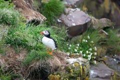 冰岛海鹦 库存图片