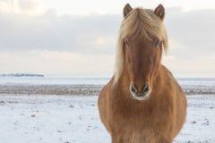 冰岛白肤金发 免版税库存图片