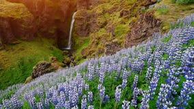 冰岛的森林和山美丽如画的风景  开花在夏天的野生蓝色羽扇豆 美丽多数 股票视频