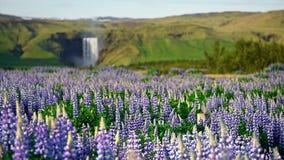 冰岛的森林和山美丽如画的风景  开花在夏天的野生蓝色羽扇豆 美丽多数 股票录像
