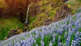 冰岛的森林和山美丽如画的风景  开花在夏天的野生蓝色羽扇豆 美丽多数 影视素材