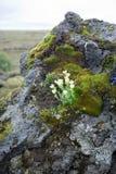 冰岛的花 库存照片