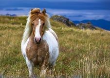 冰岛的马 免版税库存照片