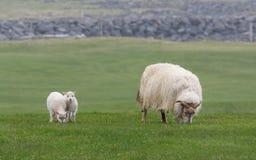 冰岛绵羊Ãslenska sauðkindin 免版税库存照片