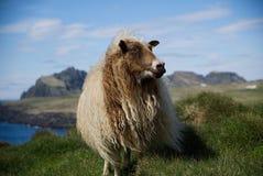 冰岛绵羊在Westman海岛 免版税库存照片
