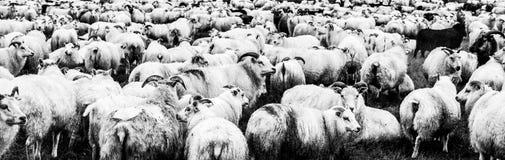 冰岛绵羊群  在黑白的全景射击 库存照片