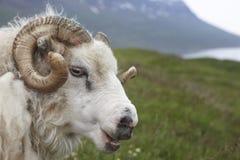 冰岛羊羔和海湾。 图库摄影