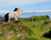 冰岛羊羔 免版税库存照片