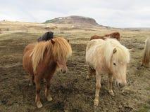 冰岛马、美好的光和黑暗的夫妇 免版税库存图片