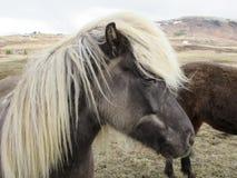 冰岛马、美好的密体和金发 免版税库存照片