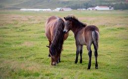 冰岛马和马驹在大领域 免版税库存照片