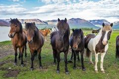 冰岛马在Varmahlid村庄农场  西北冰岛 库存图片