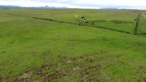 冰岛马牧群在平原吃草 安德列耶夫 股票录像