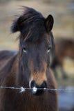 冰岛马的画象在草甸的 免版税库存照片