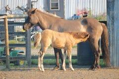 冰岛马驹护理 库存照片