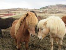 冰岛马,亲吻,美好的光和几乎黑暗的夫妇 库存图片
