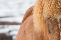 冰岛马,马的边的射击的关闭 免版税图库摄影