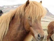 冰岛马, beautuful褐色 库存图片