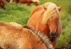 冰岛马 免版税库存照片