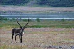 冰岛驯鹿 库存图片