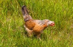 冰岛鸡 免版税库存图片