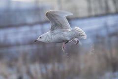 1. 冰岛鸥,鸥属glaucoides (在挪威语Grønnlandsmåke) 库存图片