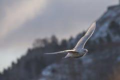 冰岛鸥,鸥属glaucoides (在挪威语Grønnlandsmåke) 库存照片