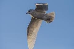 冰岛鸥,鸥属glaucoides (在挪威语Grønnlandsmåke) 库存图片