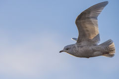 冰岛鸥,鸥属glaucoides (在挪威语Grønnlandsmåke) 免版税图库摄影
