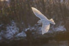 冰岛鸥,鸥属glaucoides (在挪威语Grønnlandsmåke) 图库摄影