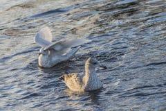 冰岛鸥,鸥属glaucoides (在挪威语Grønnlandsmåke) 免版税库存照片