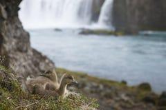 冰岛绒鸭鸭子和Godafoss瀑布。 免版税库存图片