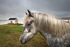 冰岛hosrse和房子 免版税库存照片