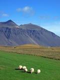 冰岛sheeps 免版税库存照片