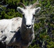 冰川山羊 免版税库存照片