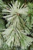 冰杉木,垂直 库存照片