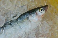 冰梭鱼 库存照片