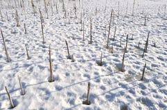 冰的干燥植物 免版税图库摄影