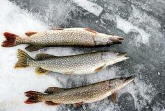 冰的白斑狗鱼 免版税库存照片