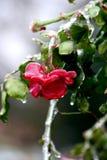 结冰的红色玫瑰 图库摄影