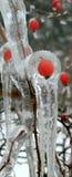 冰的野生罗斯 免版税库存照片