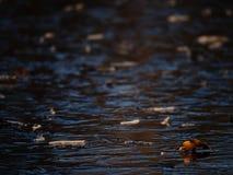 冰盖子 下落的橡木在冰离开 冻结湖 免版税库存照片