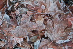 冰盖的叶子 免版税库存图片