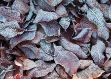 冰盖的叶子 库存图片