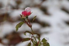冰盖的罗斯芽 免版税图库摄影