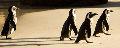 冰砾海滩企鹅 免版税库存照片