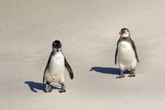 冰砾的企鹅殖民地在开普敦,南非附近靠岸,西蒙` s镇 库存图片